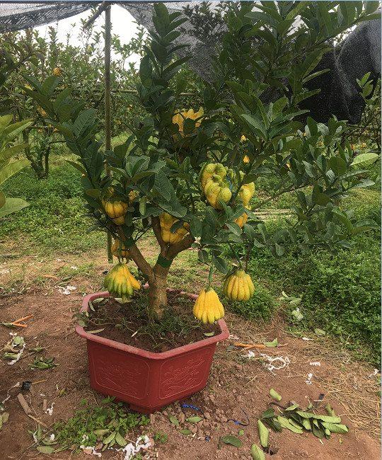 Cây phật thủ cảnh bonsai tại Hà Nội