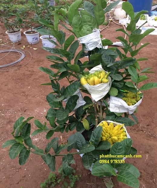 Cây phật thủ bonsai