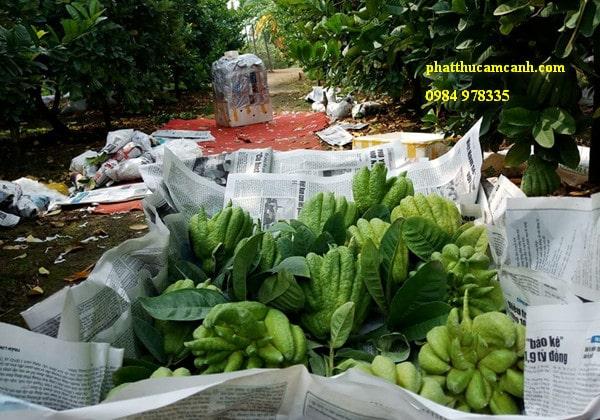 Vườn phật thủ ở Hà Nội