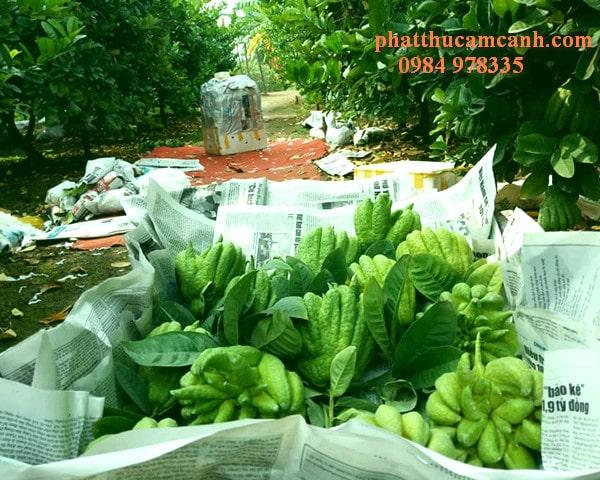 Vườn quả phật thủ đẹp   Trang trại Lan Yên