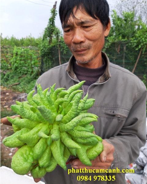 Quả phật thủ đẹp nhất trang trại Lan Yên